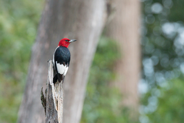 Red-headed Woodpecker poses on snag • May's Point at Montezuma NWR, NY • 2013