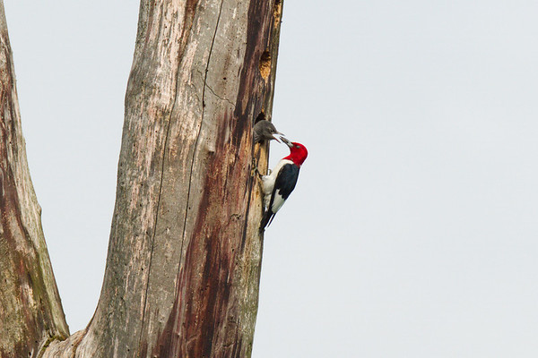 Red-headed Woodpecker feeding chick at nest cavity (rare) • May's Point at Montezuma NWR, NY • 2013