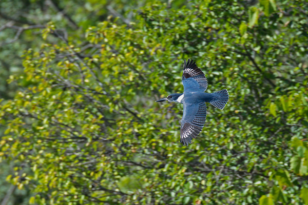 Belted Kingfisher in flight • Clyde River, Montezuma NWR, NY • 2013