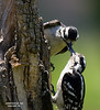 Juvenile Downy Woodpecker being fed by mom