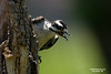 Juvenile Downy Woodpecker wanting to be fed some more
