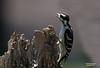Juvenile Downy Woodpecker