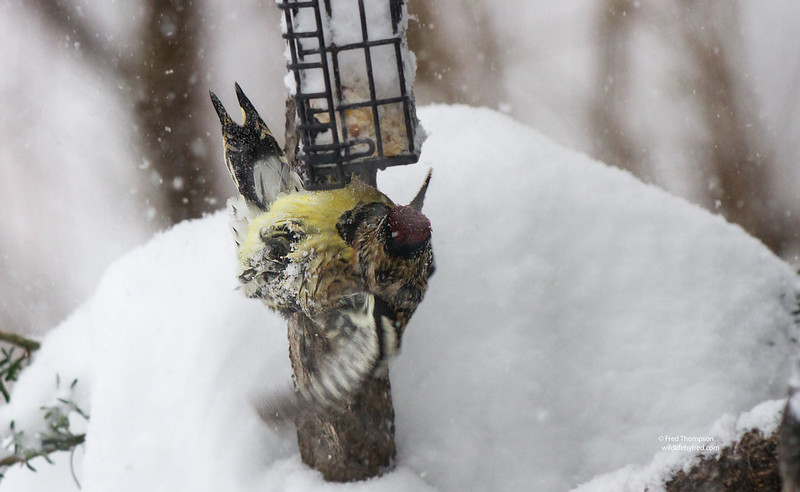 YELLOW BELLY SAPSUCKER DURING BLIZZARD OF 2016