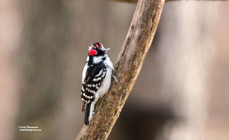 DOWNY WOODPECKER WITH WIND BLOWN FEATHERS