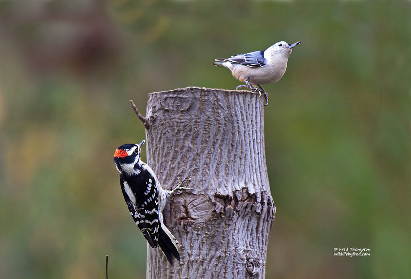 DOWNY WOODPECKER & WHITE BREASTED NUTHATCH