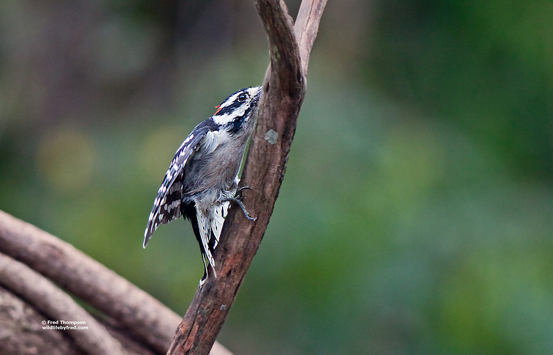 DOWNY WOODPECKER IN ATTACK MODE