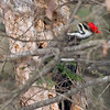 This bird has been a nemesis of mine for a long time, these photos show how easy it is for them to hide. This woodpecker was only about 30 yards away from me and I just could not get a clear photo.