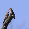 NORTHERN FLICKERS DURING MATING SEASON