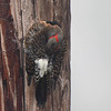 These photos of a Northern Flicker were taken during a driving rain storm with severe winds, the bird landed on this utility pole and stayed on the east side out of as much of the weather as it could get.