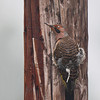 These photos of a Northern Flicker were taken during a driving rain storm with severe winds, the bird landed on this utility pole and stayed on the east side out of as much of the weather as it could get. If you look close you will see only the left side of the utility pole is wet.