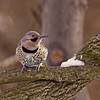 NORTHERN FLICKER (MALE)
