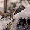 NORTHERN FLICKER ( MALE)