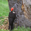 Female Pileated Woodpecker
