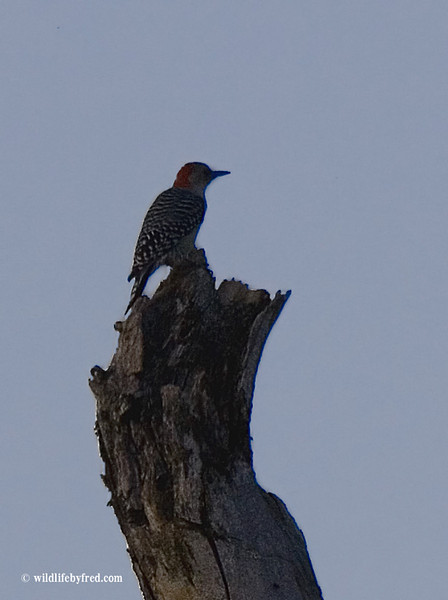 A back lit Red Bellied Woodpecker, this photo was taken after the sun had set.