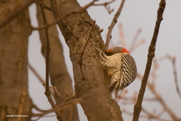 THis photo shows the top of the head of the female Red Bellied Woodpecker. The males head is solid red.