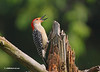 RED BELLIED WOODPECKER (MALE), PROTECTING HIS STUMP