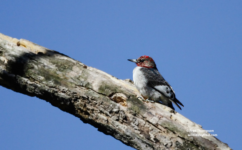 JUVENILE RED HEADED WOODPECKER
