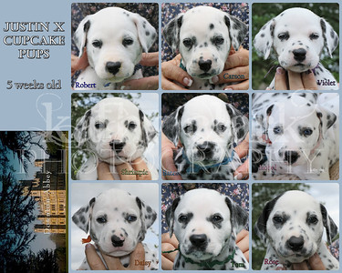 Justin x Cupcake pups 5 week Collage