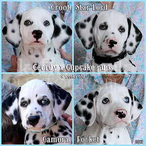 Geordy x Cupcake pups 8 weeks old Collage
