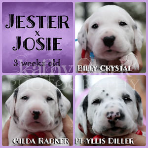 Jester x Josie pups 3 weeks old Collage