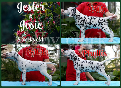 Jester x Josie pups stacked 8 weeks Collage
