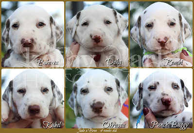 Jude x Bree 4 weeks Collage boys