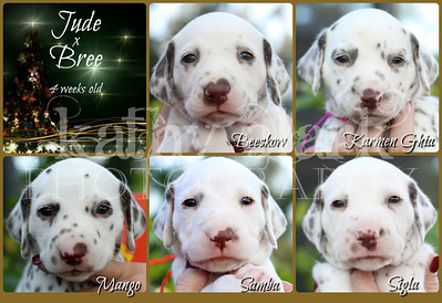 Jude x Bree 4 weeks Collage girls