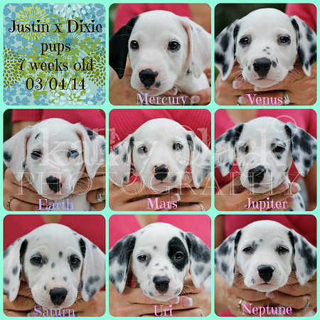 Justin x Dixie pups-7 weeks/BAER test