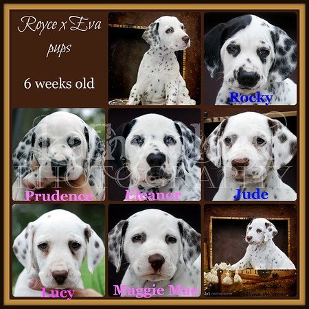 Royce x Eva pups 6 weeks old