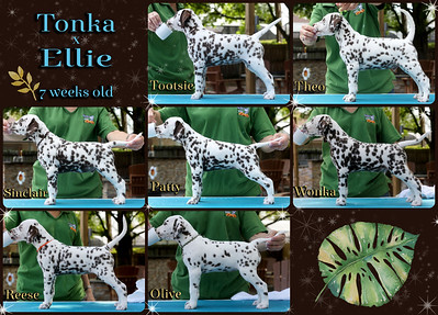 Tonka x Ellie 7 weeks stacked Collage