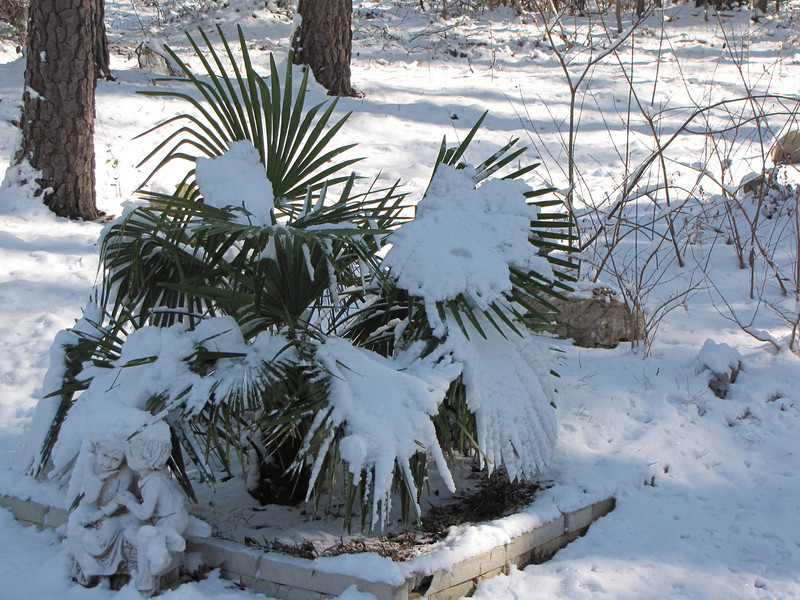 My palm tree covered in snow,,,what a winter!