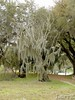 The Spanish moss finally did in this little tree
