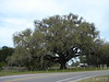 What a wonderful old tree on hwy 40 at the Blaire's Jungle Den turn off