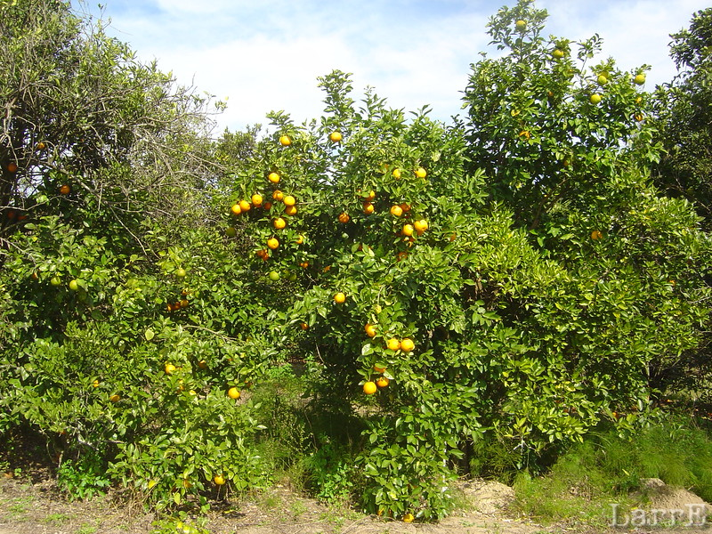 These oranges look ready to pick.......and, no I didn't