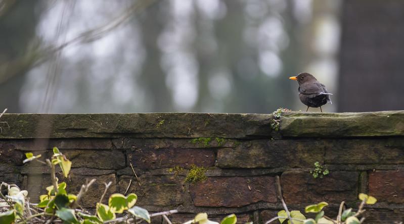 WK13 BLACKBIRD ON A WALL