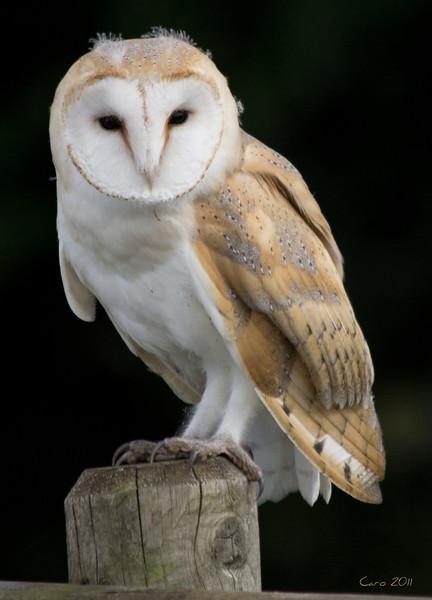 2/56 A BARN OWL.