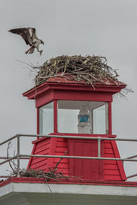 An osprey, Nova Scotia's provincial bird, has set up housekeeping atop a lighthouse in a provincial picnic park on Lennox Passage that separates Isle Madame from the mainland of Cape Breton