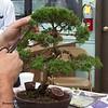Ficus Shimpaku