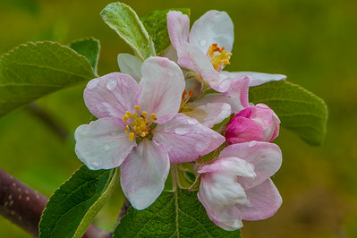 Apple blossoms in an orchard at Upper Canard in the Annapolis Valley