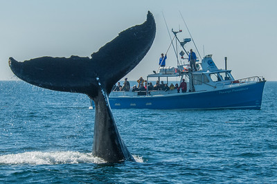 A Humpback Whale shows off for whale watchers in the Bay of Fundy waters off Digby Neck in southwestern Nova Scotia. Each summer and fall the Bay of Fundy is populated by hundreds of whales of all varieties including the endangered Right Whale.