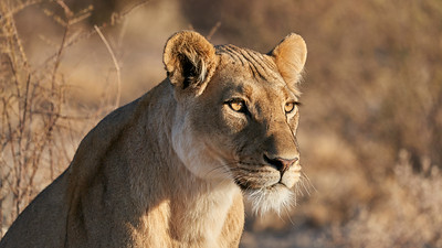 "Lion (Dekar / Ghanzi / Botswana - 21°45'45.359"" S 23°12'21.42"" E)"