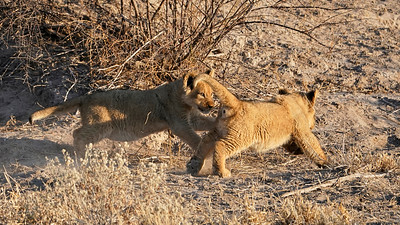 "Lion (Dekar / Ghanzi / Botswana - 21°45'45.372"" S 23°12'21.39"" E)"