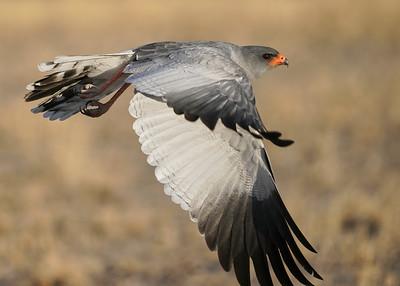 """Pale chanting-goshawk - Autour chanteur (Rakops / Central / Botswana - 21°35'35.472"""" S 23°41'59.592"""" E)"""