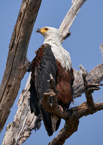 "African fish eagle - Pygargue vocifer (Kasane / North-West / Botswana - 17°50'56.358"" S 24°50'44.735"" E)"