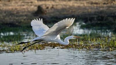 "Great egret - Grande aigrette (Maun / North-West / Botswana - 19°8'9.017"" S 23°54'9.725"" E)"