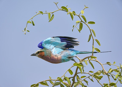 """Lilac-breasted roller - Rollier à longs brins (Kasane / North-West / Botswana - 17°49'22.289"""" S 24°57'40.326"""" E)"""
