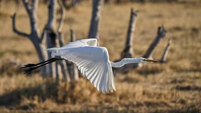 "Great egret - Grande aigrette (Maun / North-West / Botswana - 19°8'8.981"" S 23°54'9.738"" E)"