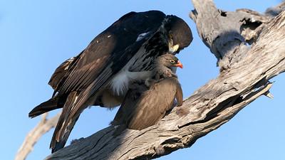 Red-billed francolin and bat-hawk - Francolin et Alcin des chauves-souris