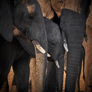 "Elephant (Katima Mulilo / Zambezi / Namibia - 18°38'6.24"" S 24°5'41.76"" E)"