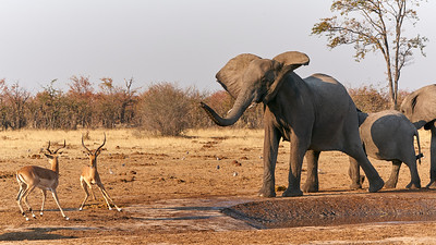 "Elephant (Katima Mulilo / Zambezi / Namibia - 18°38'16.919"" S 24°5'37.98"" E)"